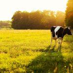 eine Kuh auf einer grünen Wiese
