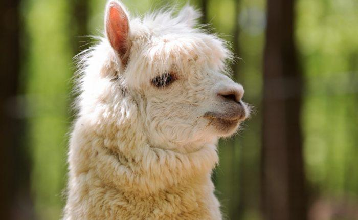 weißes Alpaka