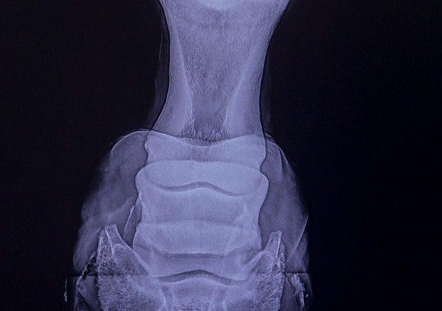 Ein Röntgenbild eines Pferdehufes in der Tierarztpraxis Paeger