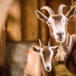 Braun-weiße Ziegen im Stall - Mutter mit Zicklein